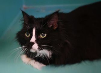 Domestic Mediumhair/Domestic Shorthair Mix Cat for adoption in West Des Moines, Iowa - Pepper