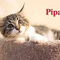 Adopt A Pet :: Pipa - Baltimore, MD