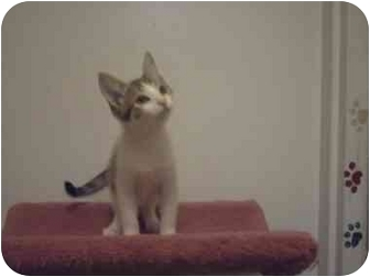 Domestic Shorthair Kitten for adoption in Saanichton, British Columbia - Ryan