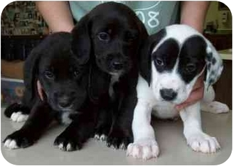 Border Collie Mix Puppy for adoption in North Judson, Indiana - B.C. Pups