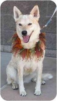 Australian Cattle Dog Mix Dog for adoption in Phoenix, Arizona - Marlee