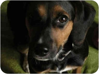 Beagle/Hound (Unknown Type) Mix Dog for adoption in Indianapolis, Indiana - BooBoo
