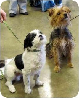 Shih Tzu Dog for adoption in Overland Park, Kansas - Sydney