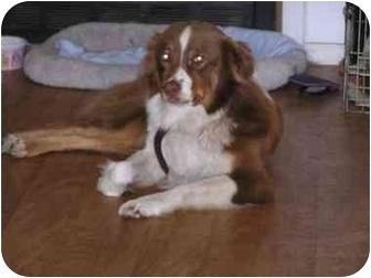 Australian Shepherd Dog for adoption in Orlando, Florida - Ruby