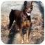 Photo 3 - Doberman Pinscher Dog for adoption in Arlington, Virginia - Tucker