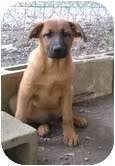 Shepherd (Unknown Type) Mix Puppy for adoption in Foster, Rhode Island - Saturn
