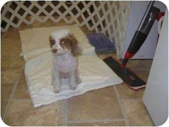 Poodle (Miniature) Puppy for adoption in Manchester, Tennessee - Zoe