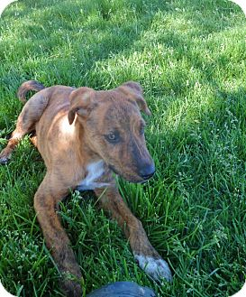 Hound (Unknown Type)/Pit Bull Terrier Mix Puppy for adoption in Jerome, Idaho - Katia