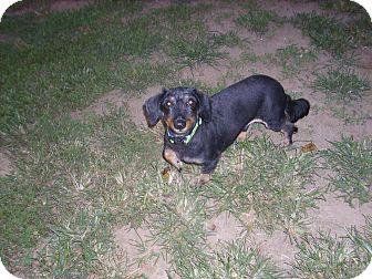 Dachshund Dog for adoption in Lawndale, North Carolina - Riley
