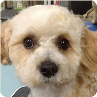 Bichon Frise Mix Puppy for adoption in La Costa, California - Jerry