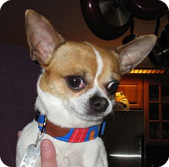 Chihuahua Dog for adoption in Salem, Oregon - Mick