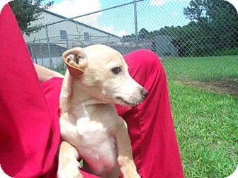 Chihuahua/Dachshund Mix Puppy for adoption in Gadsden, Alabama - Chesterfield