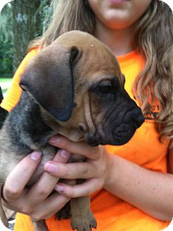 Shar Pei/Labrador Retriever Mix Puppy for adoption in Groveland, Florida - Bonzai
