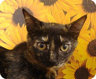 Domestic Shorthair Kitten for adoption in Albany, New York - Polly