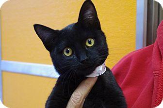 Domestic Shorthair Kitten for adoption in Elyria, Ohio - Eenie