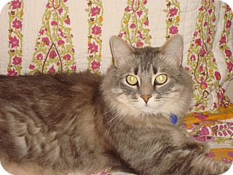 Maine Coon Cat for adoption in Corona, California - Ben
