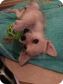 Terrier (Unknown Type, Small)/Chihuahua Mix Puppy for adoption in Tucson, Arizona - Michonne
