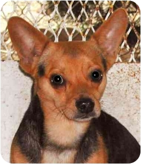 Chihuahua/Jack Russell Terrier Mix Dog for adoption in Rolling Hills Estates, California - Roger