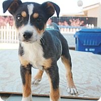Adopt A Pet :: Tucker - California City, CA