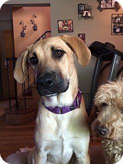 Shepherd (Unknown Type)/Golden Retriever Mix Dog for adoption in Beachwood, Ohio - April