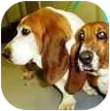 Basset Hound Dog for adoption in Claymont, Delaware - Willow & Harley