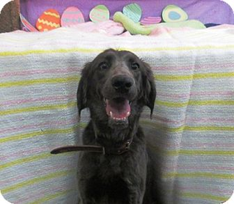 Weimaraner Mix Dog for adoption in Lloydminster, Alberta - Cindy