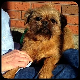 Brussels Griffon Dog for adoption in Seymour, Missouri - REGGIE in Wichita, KS.