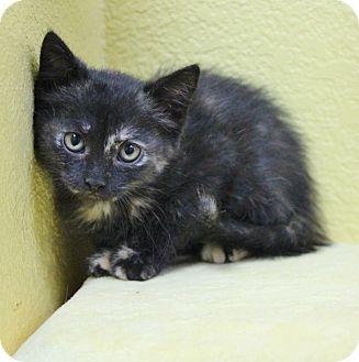 Domestic Shorthair Kitten for adoption in Benbrook, Texas - Fall