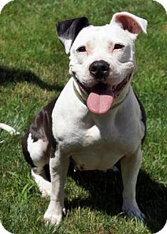 Pit Bull Terrier Dog for adoption in Framingham, Massachusetts - Annabelle