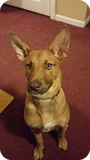 German Shepherd Dog/Siberian Husky Mix Puppy for adoption in Huntington, Indiana - Simba