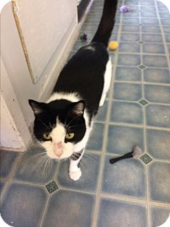 Domestic Shorthair Cat for adoption in Elliot Lake, Ontario - Panda