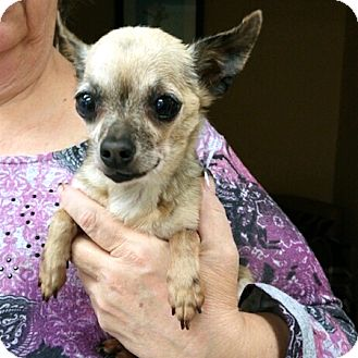 Chihuahua Mix Dog for adoption in Ardmore, Pennsylvania - Leela