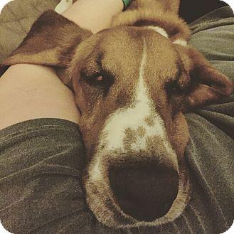 Basset Hound Dog for adoption in Northport, Alabama - Gunther