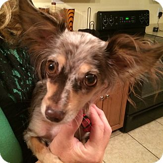Chihuahua/Papillon Mix Dog for adoption in Las Vegas, Nevada - LOLA
