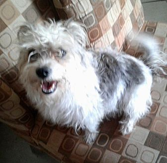 Maltese/Shih Tzu Mix Dog for adoption in Hollywood, Florida - CANDY