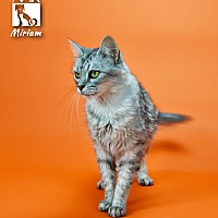 Domestic Mediumhair Cat for adoption in Tomball, Texas - Miriam