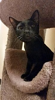 Domestic Shorthair Cat for adoption in Chino Hills, California - Bruce