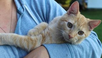 Domestic Shorthair/Domestic Shorthair Mix Cat for adoption in Anderson, Indiana - Perry