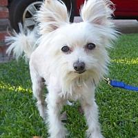 Adopt A Pet :: Bruce BB - Seattle, WA