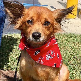 Pomeranian/Papillon Mix Dog for adoption in CUMMING, Georgia - Fitz