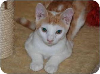 Domestic Shorthair Cat for adoption in Putnam Hall, Florida - Travis