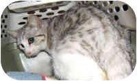 Bengal Cat for adoption in Dallas, Texas - Casey