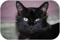 Domestic Shorthair Cat for adoption in Tampa, Florida - Mystery