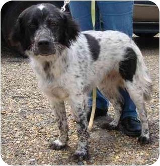 Australian Shepherd Mix Dog for adoption in Haughton, Louisiana - Gracie
