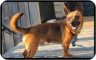 Chihuahua Mix Dog for adoption in Montreal, Quebec - Broady