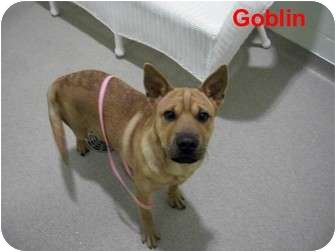 Shar Pei Mix Puppy for adoption in Slidell, Louisiana - Goblin