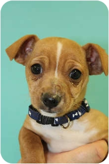 Chihuahua Mix Puppy for adoption in Broomfield, Colorado - Yertle the Turtle