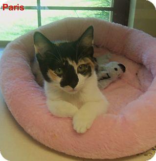 Domestic Shorthair Kitten for adoption in Slidell, Louisiana - Porsha
