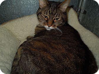 Domestic Shorthair Cat for adoption in Medina, Ohio - Boomer