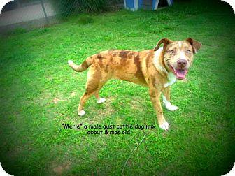 Australian Cattle Dog Mix Puppy for adoption in Gadsden, Alabama - Merle